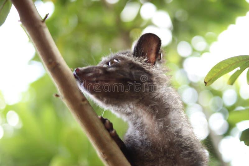 Chat de civette sur l'arbre image libre de droits