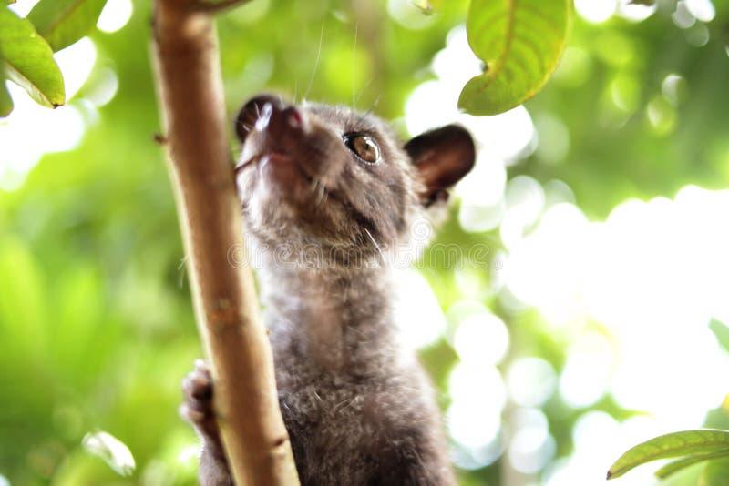 Chat de civette sur l'arbre photographie stock