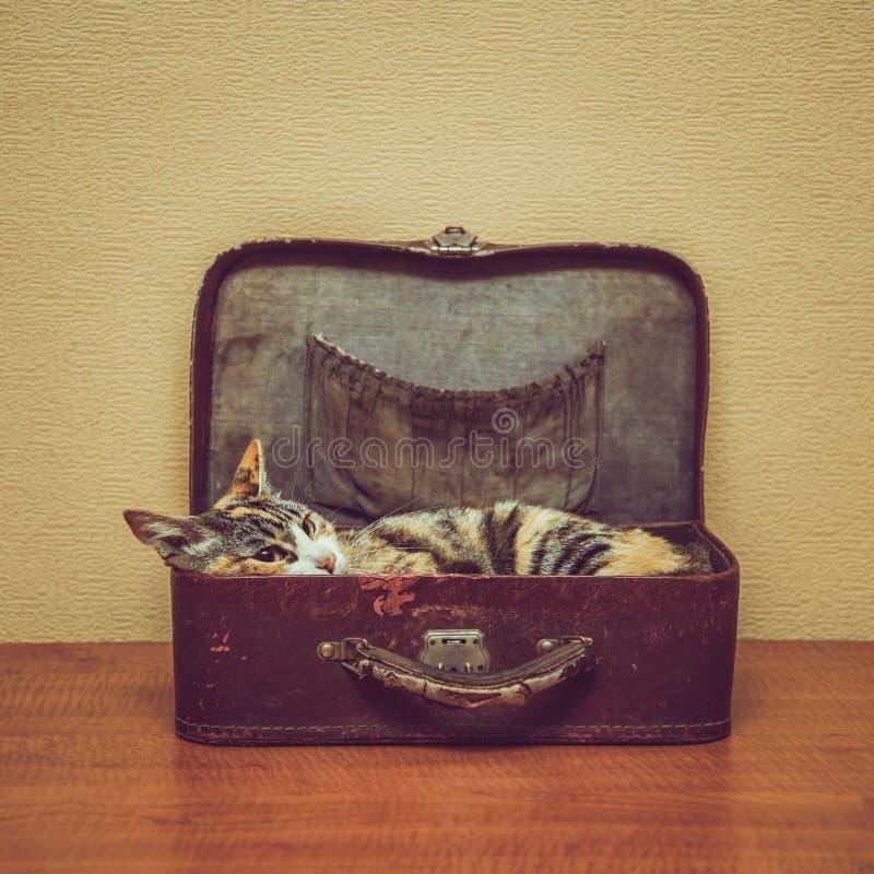 Chat de couleur d'écaille dans une valise de vintage image libre de droits