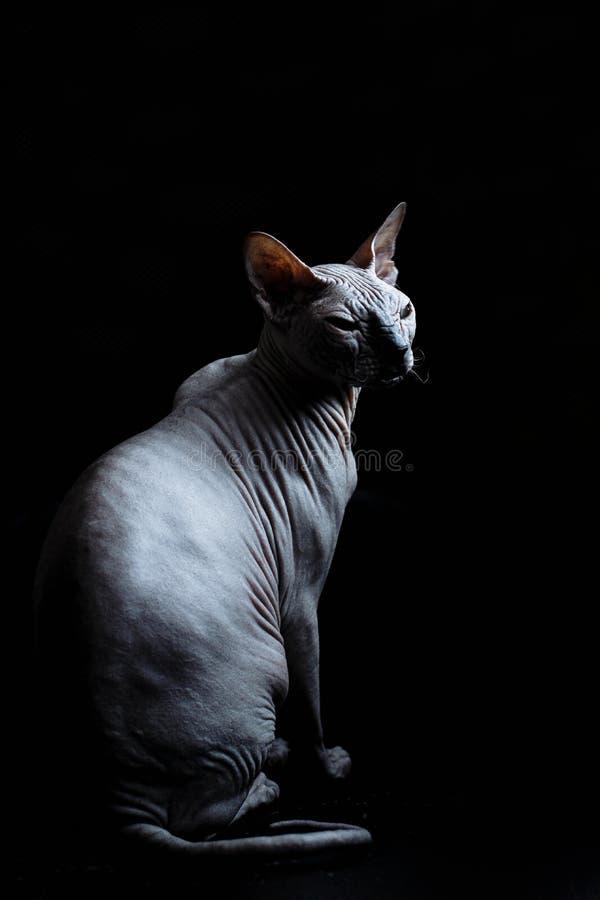 Chat de Don Sphynx sur un fond noir photographie stock