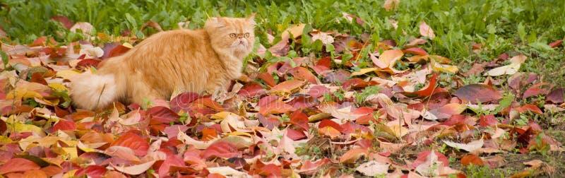 Chat de Gilbi sur des feuilles d'automne photos stock