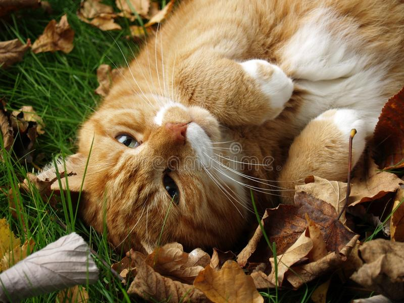 Chat de gingembre parmi des feuilles d'automne photo stock