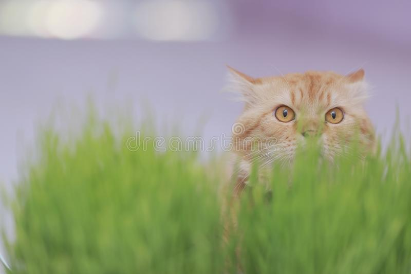 Chat de gingembre se cachant dans l'herbe photos stock