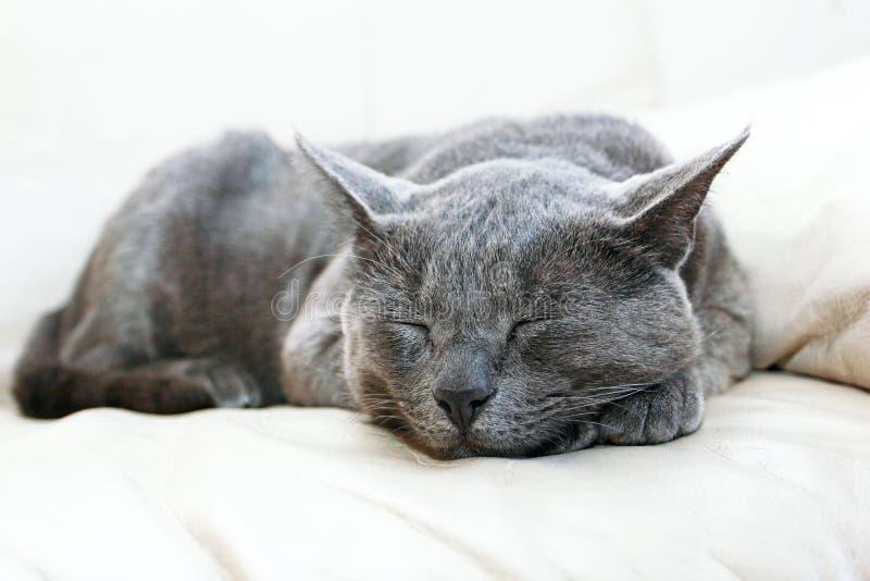 Chat de Gray Burmese dormant solidement sur un sofa en cuir blanc dans le salon, horizontal images stock