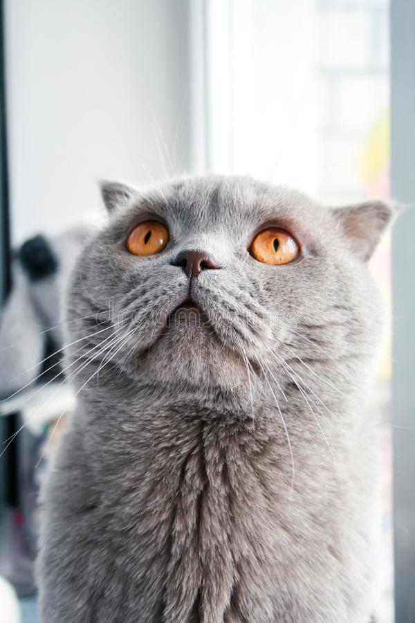 Chat de Gray Scottish Fold avec les yeux oranges regardant vers le haut Vue de plan rapproch? photos stock