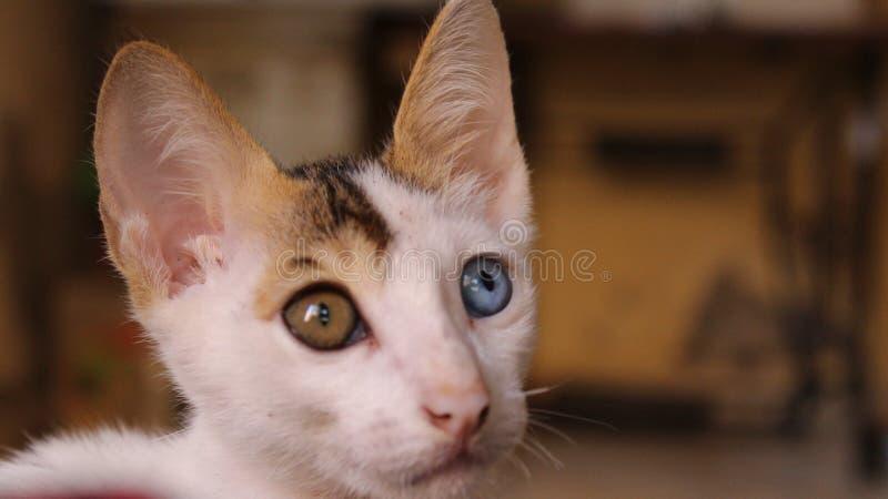 Chat de Heterochromia photos stock