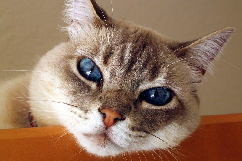 Chat avec des yeux bleus images stock