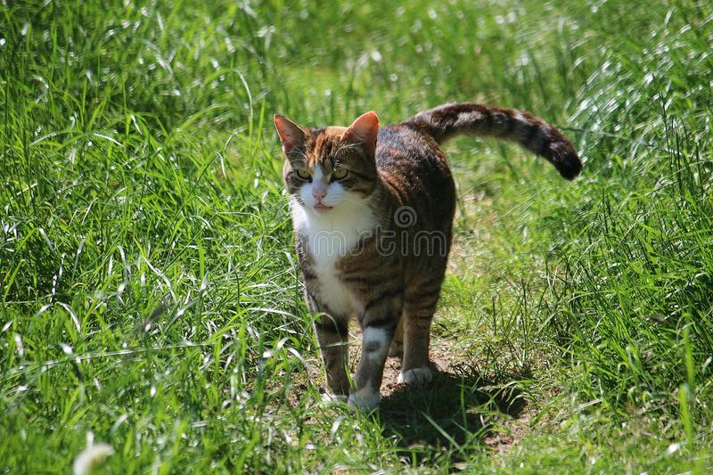 Chat de marche dans le jardin photo stock
