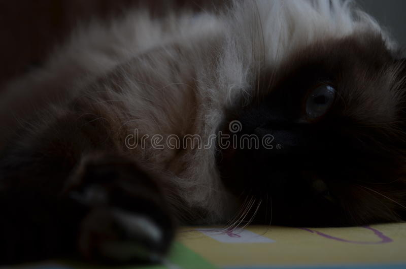 Chat de mascarade de Neva photo stock