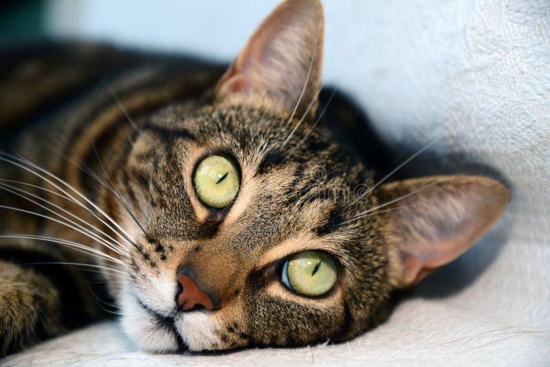 Chat de Mau d'Egyptien - grands yeux photographie stock libre de droits