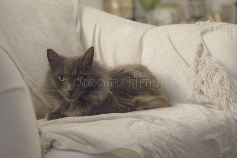 Chat de Nebelung photographie stock libre de droits