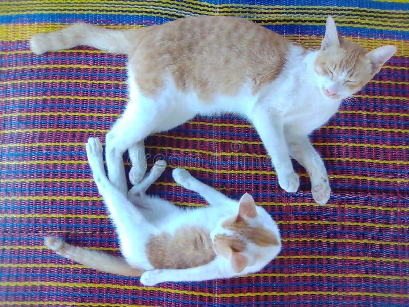 Chat de père et le fils photographie stock libre de droits
