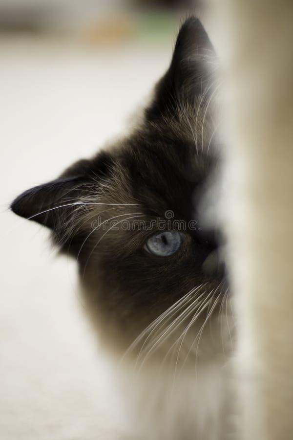 Chat de Ragdoll - foyer mou photographie stock