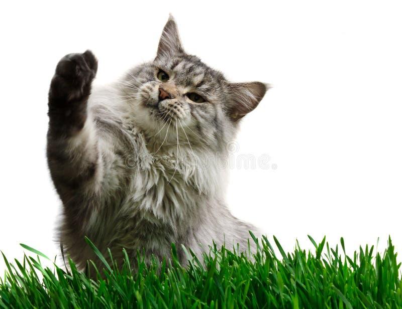 Chat de ragondin gris du Maine sur une herbe photos libres de droits