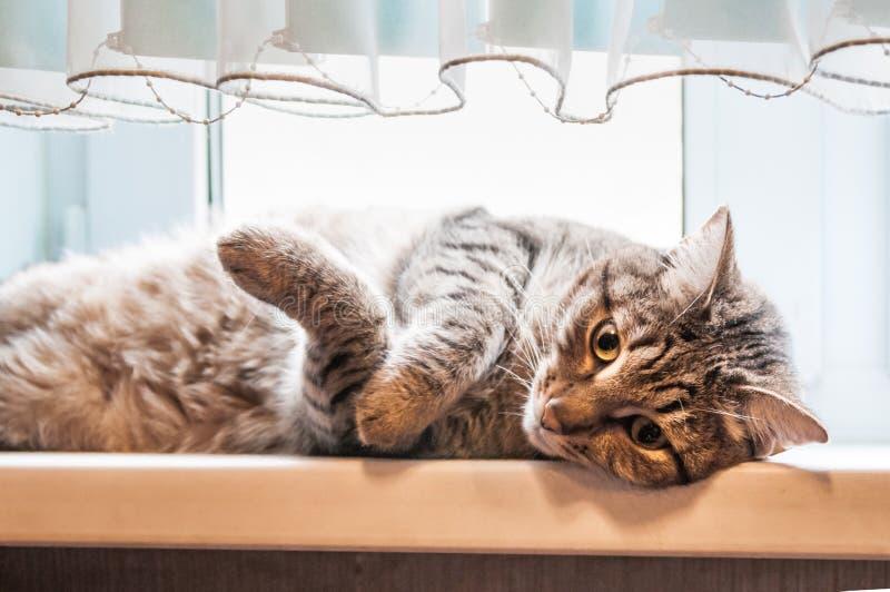 Chat de Shorthair d'Européen se trouvant sur le rebord de fenêtre photographie stock