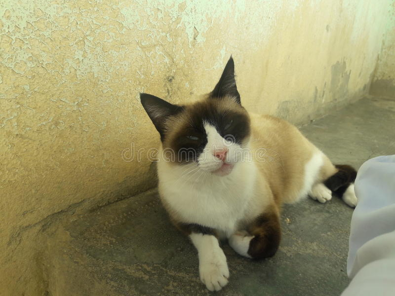 Chat de Siamoi photo libre de droits