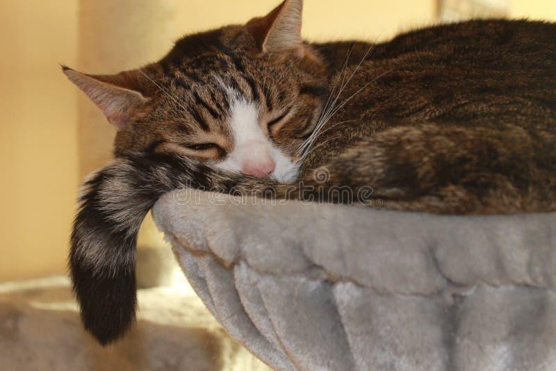 Chat de sommeil photographie stock libre de droits