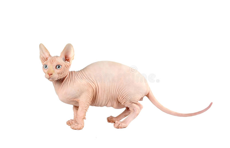 Chat de Sphynx d'isolement sur le blanc photo libre de droits