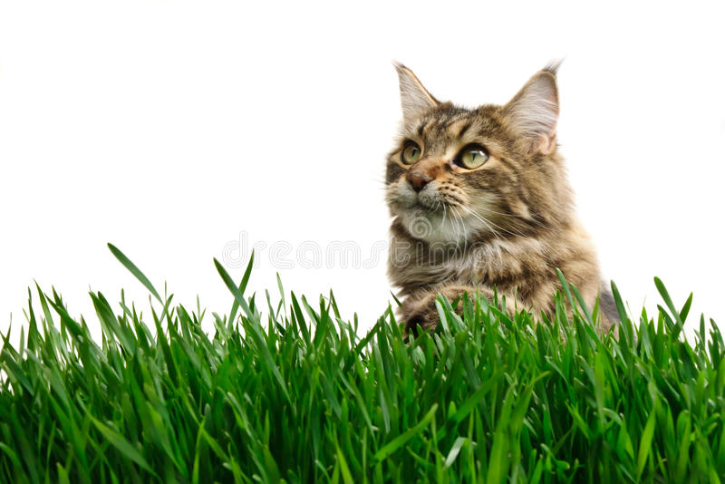 Chat de Tabby dans l'herbe images stock
