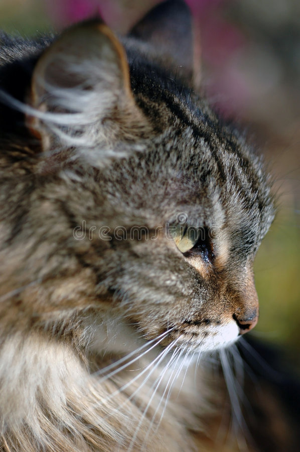 Chat de Tabby dans le profil photos libres de droits