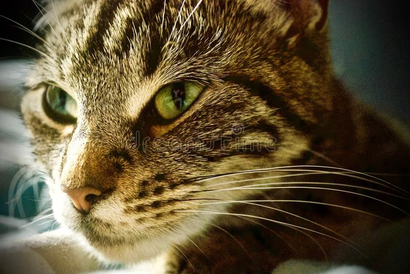 Chat de Tabby regardant l'appareil-photo photos libres de droits