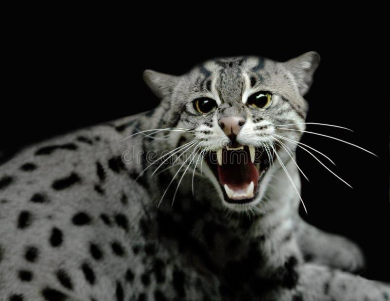 Chat de tigre de sifflement photos stock