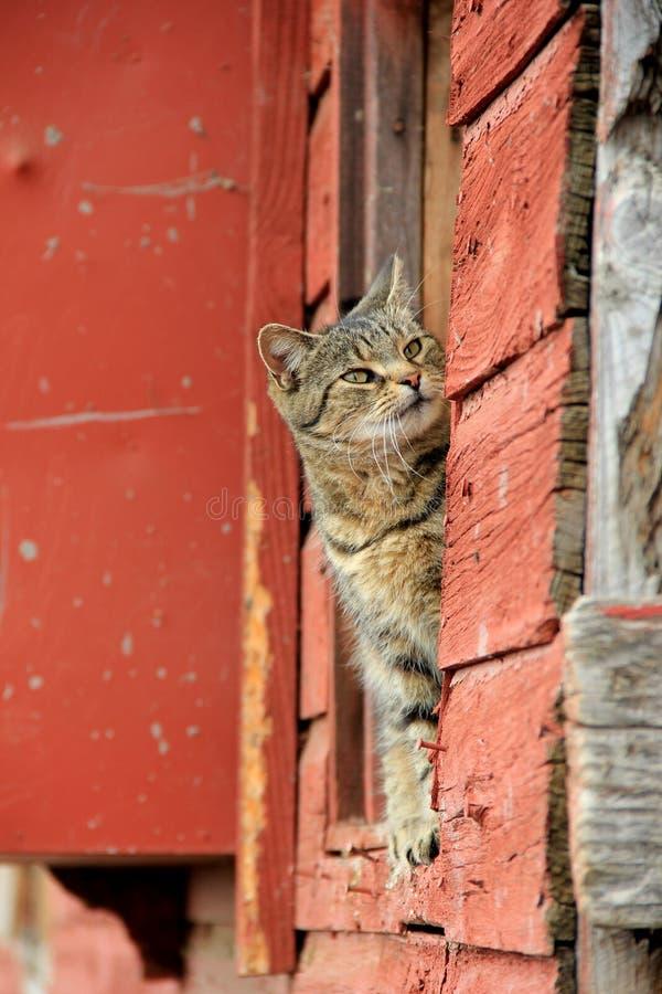 Chat de tigre jetant un coup d'oeil du rebord de la grange rouge photo libre de droits