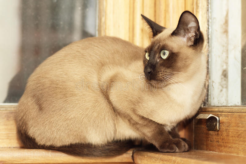 Chat de Tonkinese photo stock
