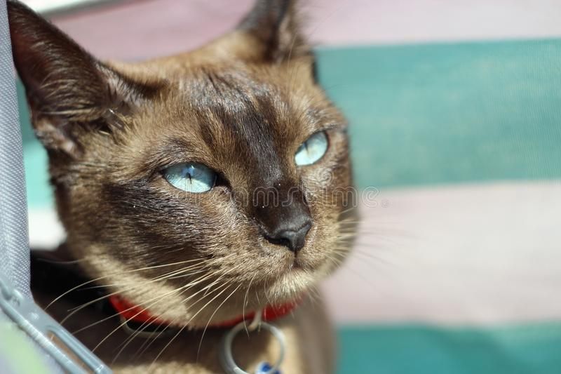 Chat de Tonkinese sur la plage photo libre de droits