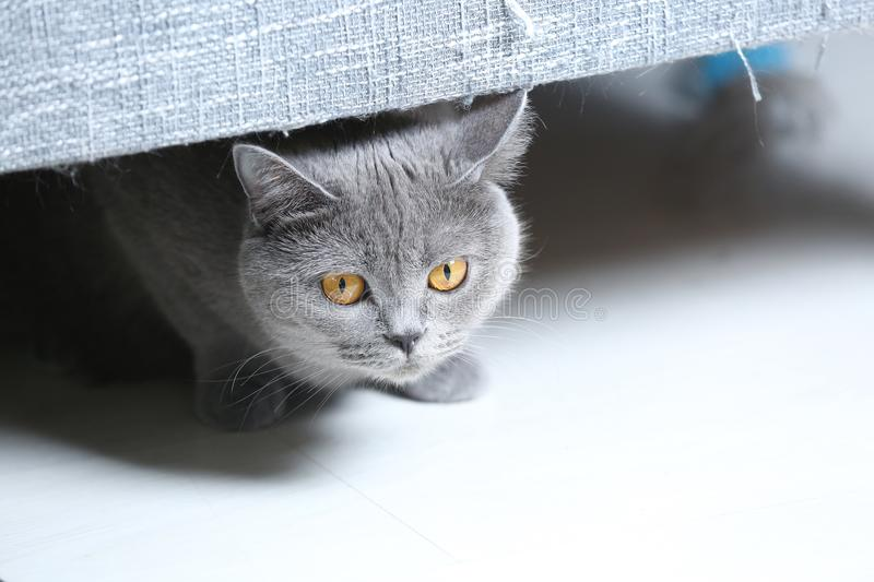 Chat des Anglais Shorthair caché sous le sofa photo stock