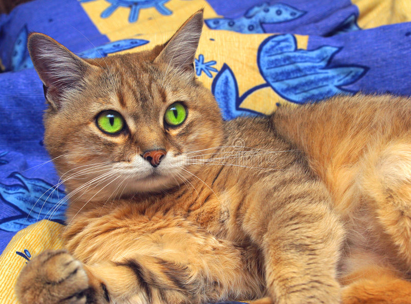 Chat domestique image stock