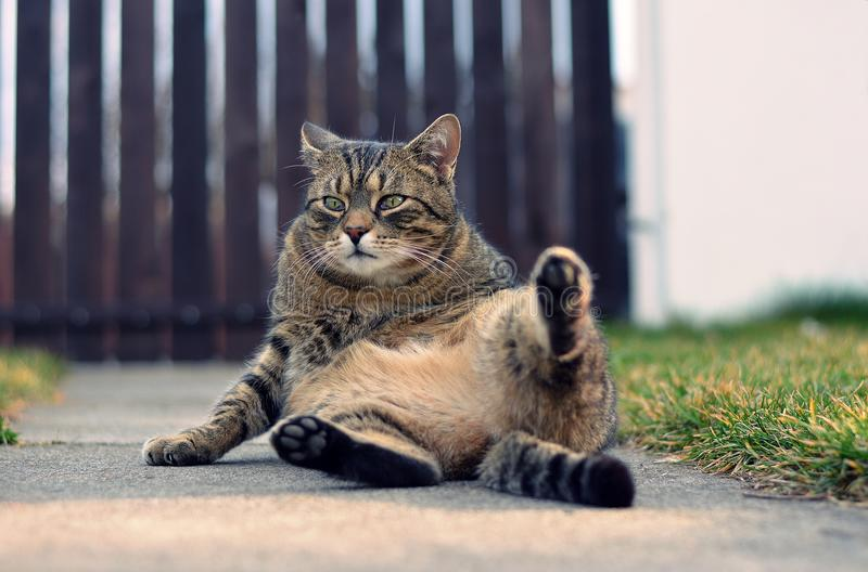 Chat domestique drôle photographie stock