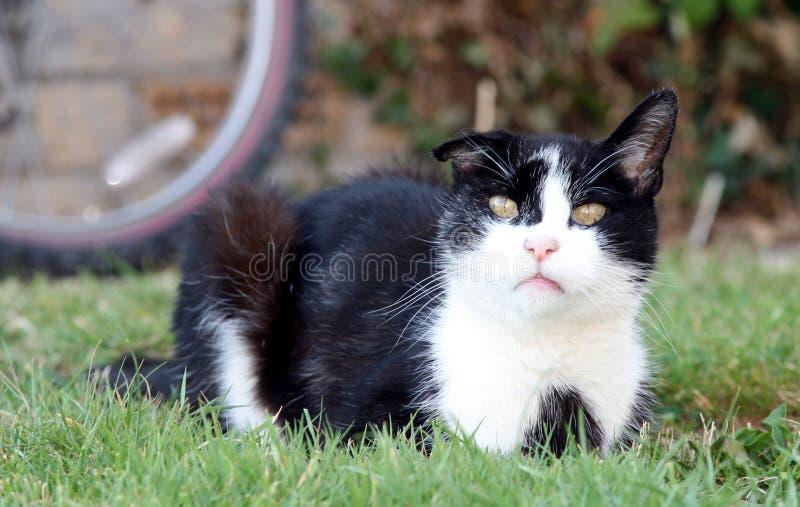 Chat domestique noir et blanc images stock