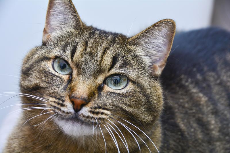 Chat domestique ray? gris Portrait avec de grands yeux expressifs photo libre de droits