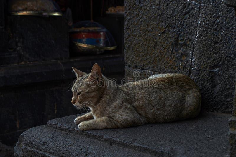 Chat domestique regardant avec ses yeux pointus et beaux État d'Aundh, maharashtra, Inde images stock