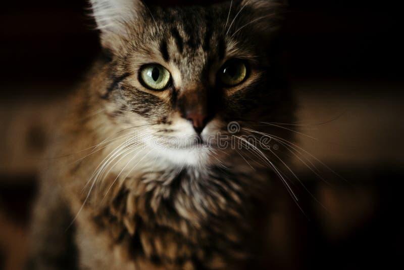 Chat doux mignon se reposant avec le regard sage étonnant, animal familier domestique photographie stock libre de droits