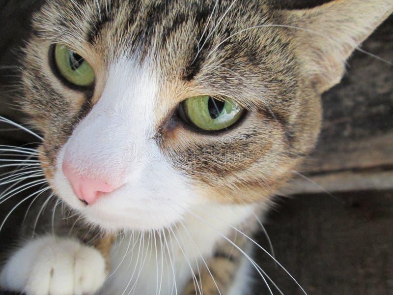 Chat drôle avec les yeux verts images libres de droits