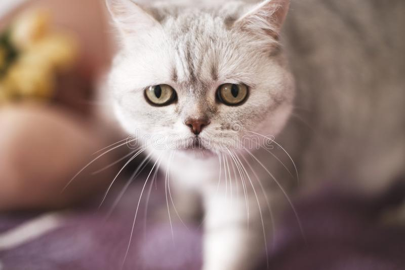 Chat droit ?cossais Portrait de chat image libre de droits