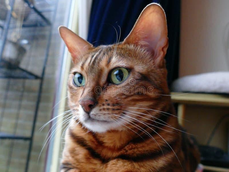 Chat du Bengale : Regard principal de chat du Bengale loin photographie stock libre de droits