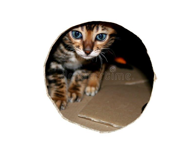 Chat du Bengale : Tête de chaton de chat du Bengale par le trou de regard dans le blanc images libres de droits