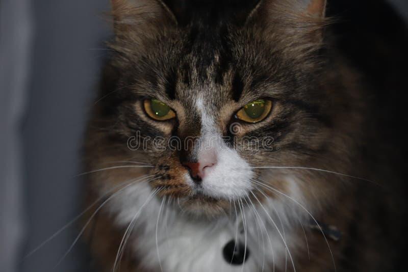 Chat en colère image stock