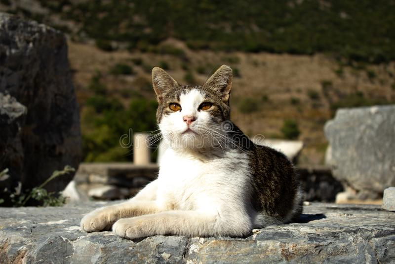 Chat Ephesus - en Turquie en août 2018 image stock
