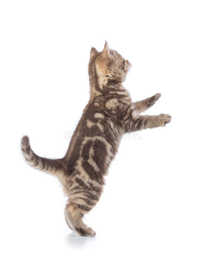 Chat espiègle se tenant sur les jambes de derrière, d'isolement sur le fond blanc photographie stock