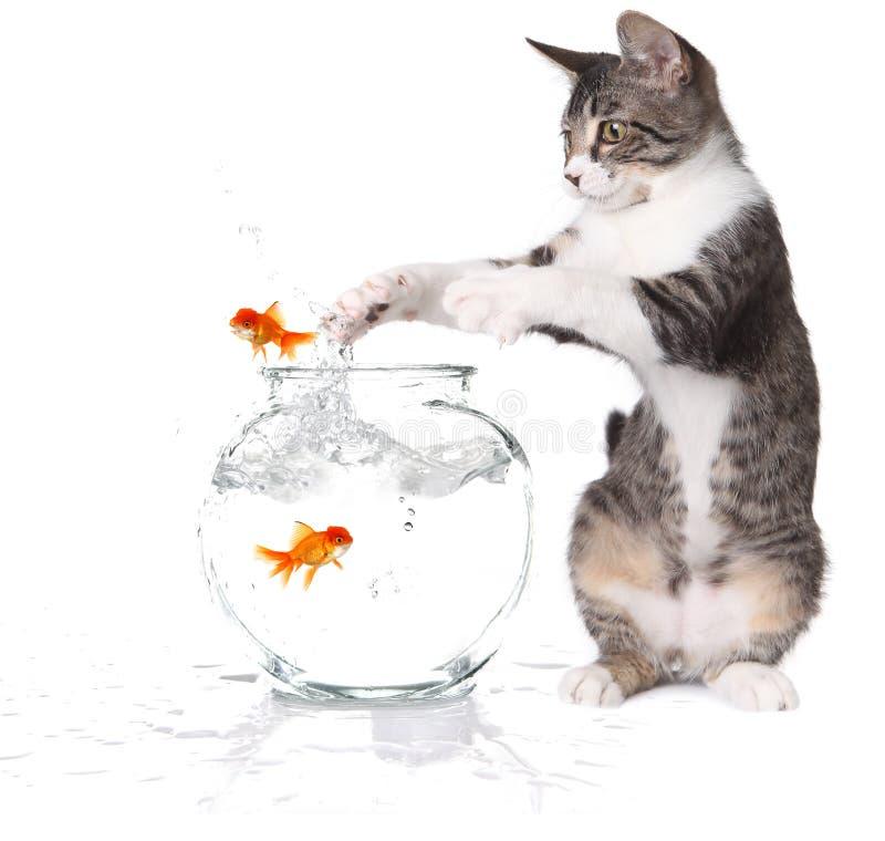 Chat essayant d'attraper le Goldfish branchant image stock