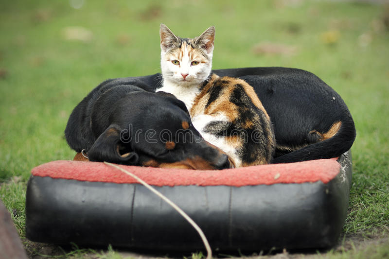 Chat et chien photo libre de droits