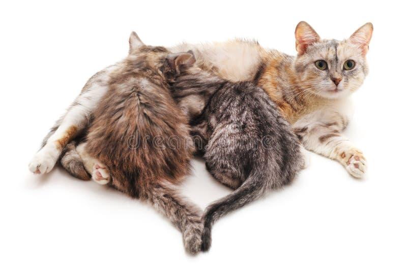 Chat et deux chatons image stock