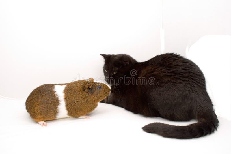 Chat et Guinée image stock
