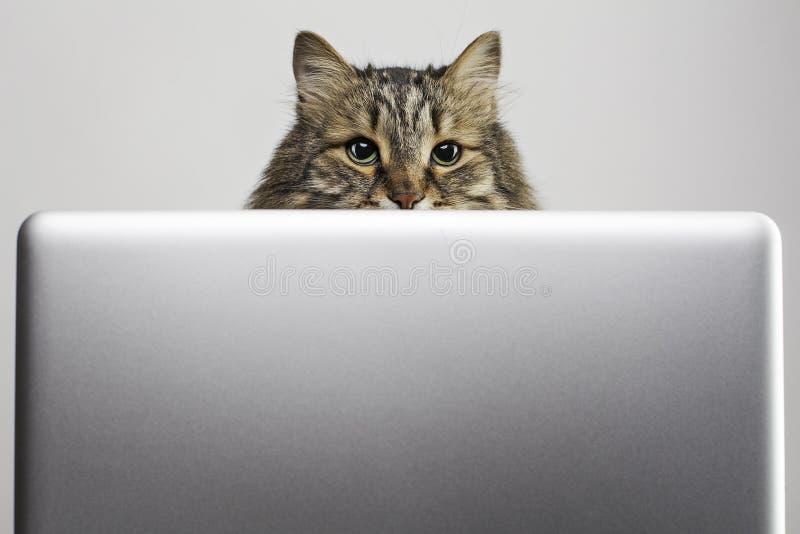 Chat et ordinateur photos libres de droits