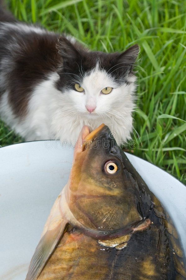 Download Chat et poissons. photo stock. Image du poissons, extraction - 8650036