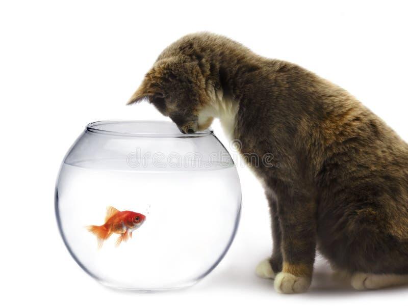 Chat et un poisson d'or photographie stock libre de droits